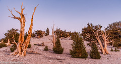 Methuselan Trees (Ralph Earlandson) Tags: whitemountains california patriarchgrove eastsidesierra sunset bristleconepine breathtakinglandscapes