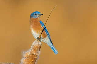 BJ8A6542-Eastern Bluebird