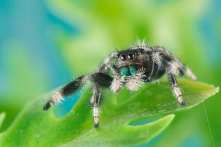 Phidippus regius male