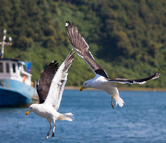 looking for food (Sebastián Caro Estrada) Tags: seagull gaviota sea mar azul verde blue green fly quick volando rapido food comida bird ave pajaro