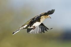 Pinson A6503907_DxO (jackez2010) Tags: ilce6500 fe100400mmf4556gmoss bif birdinflight pinsondesarbres