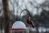 Project365_16 (SAT_Photography) Tags: ohio backyard birds bird feeder cardinal