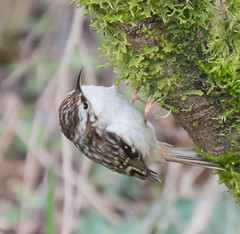 Day Creeper. (Omygodtom) Tags: browncreeper bokeh bird oaksbottom design world storm golden hunter nikon70300mmvrlens d7100 dof contrast