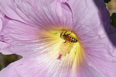 Bee on Board (maytag97) Tags: d750 nikon maytag97 honey bee closeup hollyhock flower pink stamen stigma outdoor outside bokeh