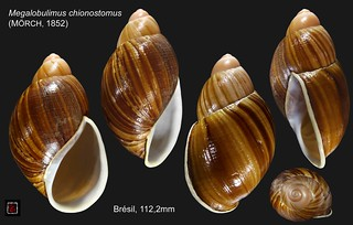 megalobulimus chionostomus bresil 112mm2