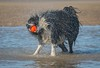 Bailey Shaking His Stuff (Chris Willis 10) Tags: dogsbeachbaileywill animal water nature outdoors sea summer jumping dog beach running wildlife action lake fun playing wet splashing speed mammal sport shaking