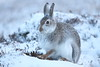 Mountain Hare (blootoonloon1( No to Badger Cull)) Tags: winter snow mountains cairngorms nationalpark highlands scotland colours fur animal hare mountainhare wildlife nature
