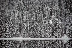 Treflokken -|- Bunch of pines (erlingsi) Tags: bnw tre trees bunch flokk wood skog reflection sunnfjord impressivecapture pine pines skogen