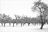 The Orchard in Winter (meniscuslens) Tags: cheddington plum orchard buckinghamshire snow trees fruit