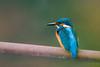 Kingfisher/ Eisvogel (nbs.fotografie) Tags: bird animal wildlife nikon vogel tier kingfisher eisvogel erlenwäldli
