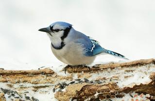 Blue Jay by Jackie B. Elmore 1-17-2018 Lincoln Co. KY