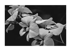 ハナ (pangwillis) Tags: flower black white silence fade old taiwan taipei beautiful dim dimlight