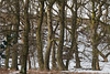 Snowy woods (Blue Pelican) Tags: trees snow trunks shirehill glossop derbyshire