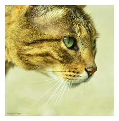 Little green eyes. (Graham Pym) Tags: cat feline fur nikon portrait green eyes whiskers nature