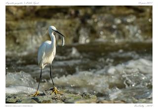 Aigrette garzette   Little Egret