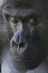 Mosuba (ucumari photography) Tags: ucumariphotography westernlowland gorilla animal mammal gorillagorillagorilla nc north carolina zoo march 2018 dsc1013 specanimal specanimalphotooftheday specanimaliconofthemonth