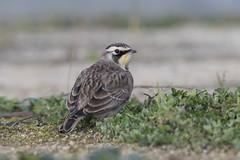 American Horned Lark (icemelter4) Tags: american horned lark surry