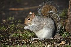 Sunday Squirrel (Eleanor (No multiple invites please)) Tags: squirrel greysquirrel seeds kensingtongardens london nikond7200 january2017