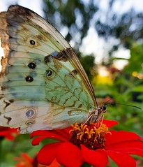 Borboleta lindaMorpho epistrophus (Paulo Mattes) Tags: butterfly borboletas borboleta bomdia insects insect insetos inseto instagram galaxys8 galaxy mobile naturelovers naturesa natureza natgeo closeup close macro macros