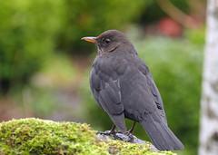 Blackbird (eric robb niven) Tags: ericrobbniven scotland dundee dunkeld birnam blackbird walking winter winterspring springwatch