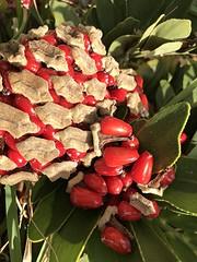 Cardboard palm's shiny red seeds (jungle mama) Tags: zamia cardboardplant red redseed shiny cycad dioecious zamiafurfuracea cardboardpalmcardboardplantcardboardsagocardboardcycadjamaicansagomexicancycad