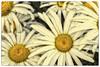 Margeriten (Heinze Detlef) Tags: margeriten blumen pflanzen makro macro blüten blüte samen blätter