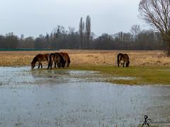 wild horse (martin.smolak) Tags: wild horse nature tree grass water swamp animal czech republik jaromer bird park josefov meadow mammal forest field sky