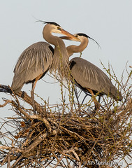 DSC_7444 (Tundra Winds Images by Donna) Tags: colorado waterfowl greatblueheron areaherniasrookery nest matingdisplay spring
