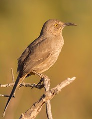Curved-billed Thrasher (gilamonster8) Tags: yellow curvedbill billed bird animal eyes explore eos explored ef400mm56l 7dmarkii color canon cactus common bokeh beyondbokeh bill brown black branch tucson tail tree twig ngc flickrelite arizona wing sky stick desert view thrasher