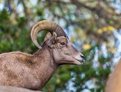 Desert Bighorn Sheep (FotoMemi) Tags: nikond850 d850 losangeles fauna nikkor200500mmf56vr flickr digital california unitedstates us