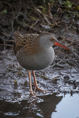 WATER RAIL (_jypictures) Tags: animalphotography animals animal canon7d canon canonphotography wildlife wildlifephotography wiltshire nature naturephotography photography pictures birdphotography bird birds birdwatching birding birdingphotography birders waterrail