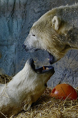scream squared (ucumari photography) Tags: ucumariphotography polarbear ursusmaritimus oso bear animal mammal nc north carolina zoo osopolar ourspolaire oursblanc eisbär ísbjörn orsopolare полярныймедведь anana nikita february 2018 dsc9479 specanimal