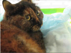A693651 (yycpetrecovery) Tags: cat cas tortie calicotortie foundsighted