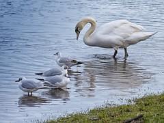 Ireland_Lough Key_03 (Mikeyob) Tags: loughkey ireland swans