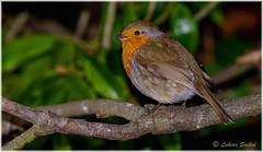 Almost Spring II (lukiassaikul) Tags: wildlifephotography wildanimals wildbirds gardenbirds urban wildlifesmall birdsrobineuropean robin perching trees branch