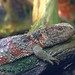 Krokodilschwanzechse  (Shinisaurus crocodilurus)  /  Chinese crocodile lizard