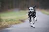 Stöckchen (blumenbiene) Tags: hund dog hunde dogs hündin female dalmatiner dalmatian schwarz weis black white winter fun spas spielen play