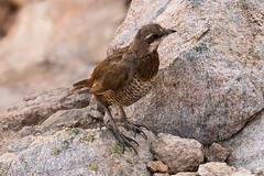 Moustached Turca, Chile (JohnReynolds2012) Tags: 2018 birds chile animals wildlife bird farellones regiónmetropolitana cl