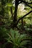 Virgin Forest (Thibaud Chanfray) Tags: forest jungle nz newzealand primary virgin tree fern urewera waikaremoana nikon enchanted northisland landscape
