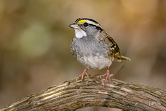 White-throated Sparrow (jt893x) Tags: 150600mm bird d810 jt893x nikon sigma sigma150600mmf563dgoshsms songbird sparrow whitethroatedsparrow zonotrichiaalbicollis coth thesunshinegroup alittlebeauty coth5 sunrays5