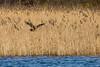 Into the Reeds (Robin M Morrison) Tags: marshharrier ava avalon rspbhamwall
