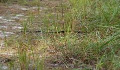 20171120 (17) Okeeheelee Park West Palm Beach PBC FL USA (FRABJOUS DAZE - PHOTO BLOG) Tags: okeeheelee park westpalmbeach wpb westpalm pbc palmbeachcounty florida fl fla usa yhdysvallat käärme snake luontokuvaus naturephotography