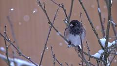 Snowing Again (robinlamb1) Tags: nature outdoor animal bird junco darkeyedjunco juncohyemalis backyard aldergrove snowing roseofsharonbush bush branch winter