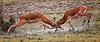OUCH (gazza294) Tags: kenya masaimara ouch wildlife wildlifemagazine wildlifephotography wildlifephotographer naturetrek nationalgeographic nature flicker flickr flckr flkr flickrexplore google gazza294 garymargetts