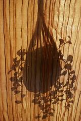 056/365: printing with shadows (Michiko.Fujii) Tags: shadows light warm gold golden visualpoetry curtains hidingbehindthecurtain plantshadows natureprojectingshadows balcony shadowsandlight shadowsonthecurtains