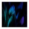 BLUE (Der Zeit die Augenblicke stehlen) Tags: tulpe tulip blume flower hth56 pflanze plant blue blau