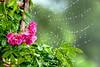 rainy day (parrot0901) Tags: rose rainyday bokeh raindrop webs chinon135mmf28