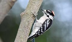 Downy at the window DSC_5805 (blthornburgh) Tags: woodpecker downywoodpecker downy bird