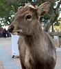 Sacred Deer of Nara (Kerry Wixted) Tags: sitka deer sacred nara park japan february 2018 cervus nippon