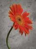 Transvaal Daisy (Dave Whiteman - AU) Tags: flower gerberajamesonii africandaisy floral transvaaldaisy gerbera